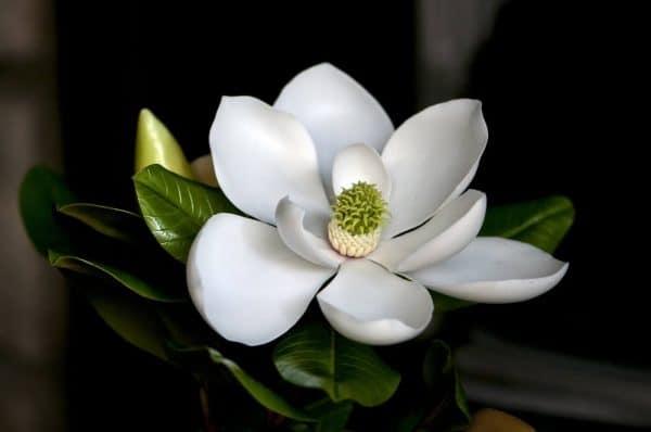 mộc-lan-trắng