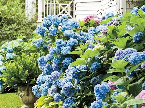 trồng hoa tú cầu trong nhà