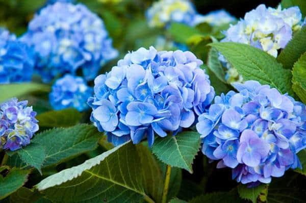 hoa tú cầu màu xanh