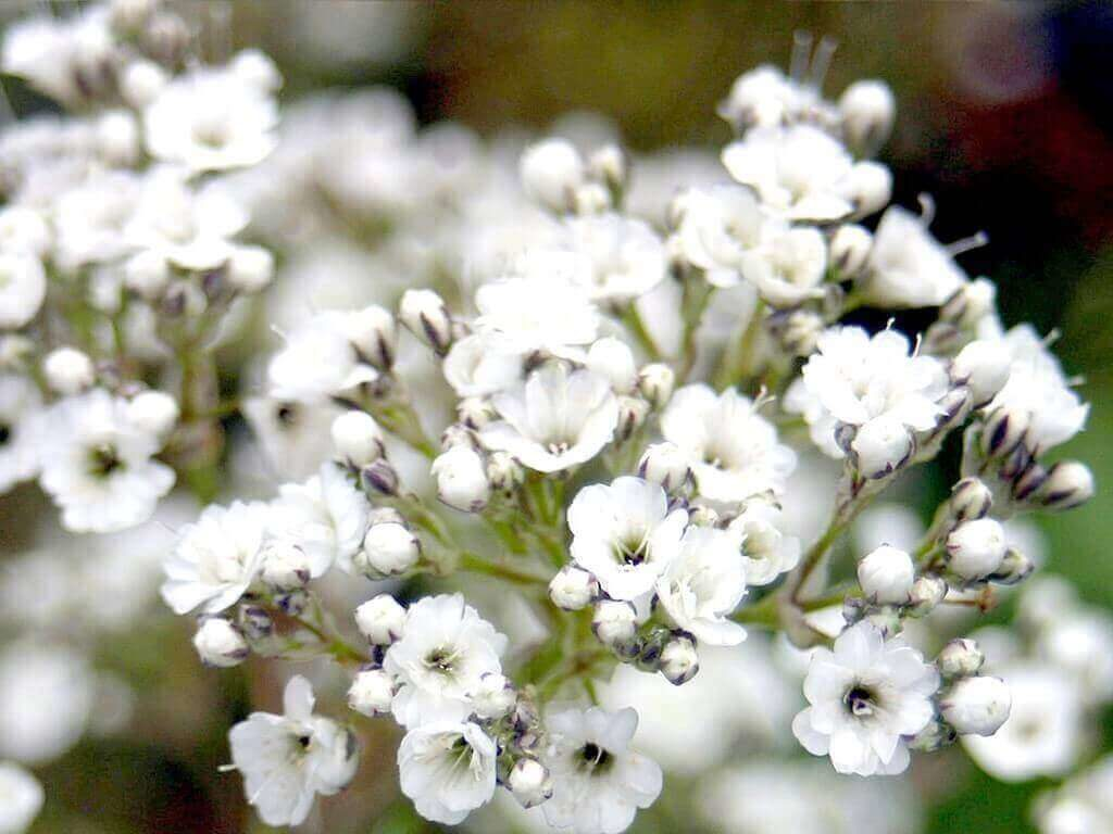 Hoa Baby-hoa đẹp nhất