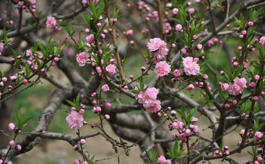 ý nghĩa hoa đào trong ngày tết