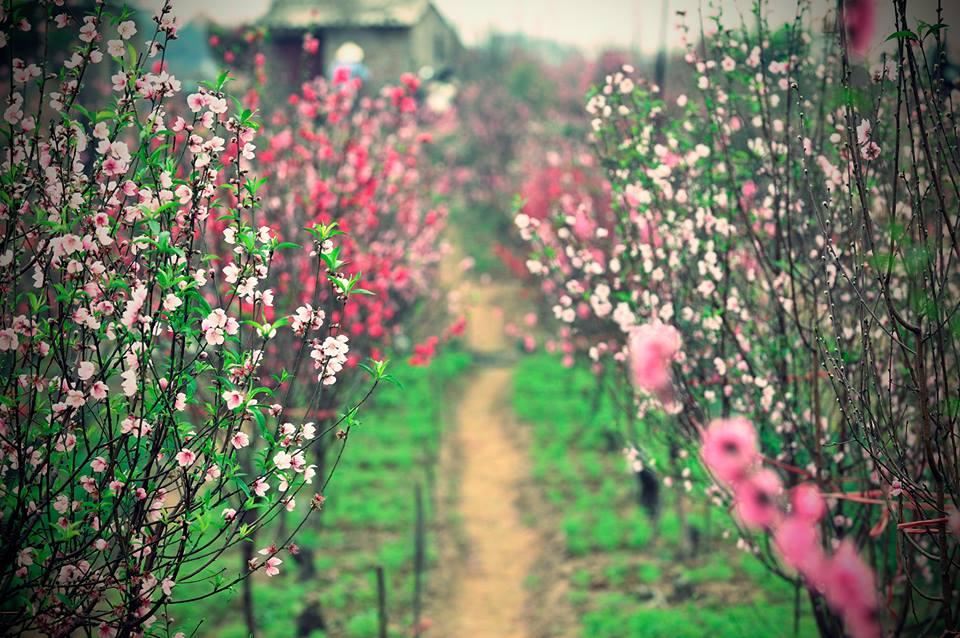 Vườn hoa đào ngày tết