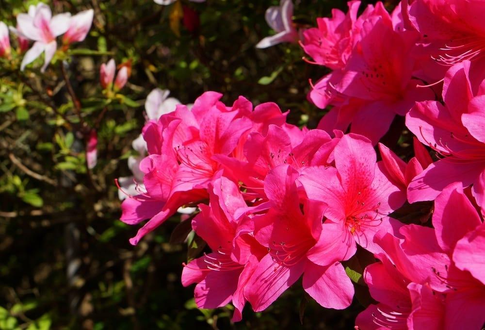 ý nghĩa hoa đỗ quyên