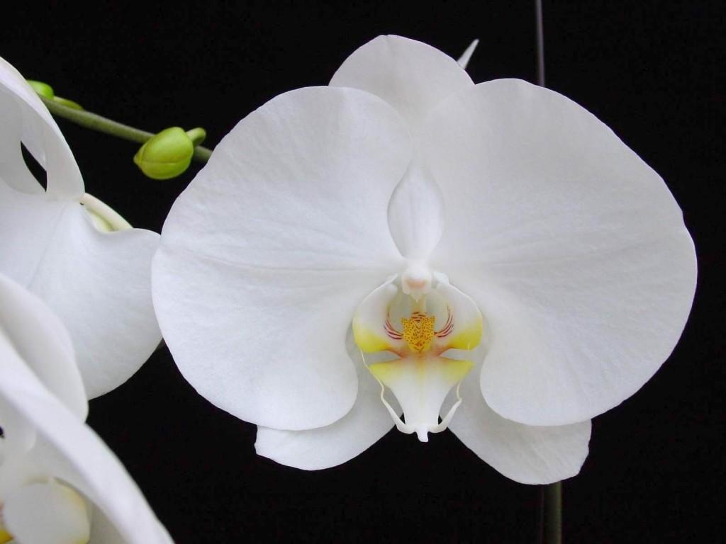 Đặc điểm hoa lan Hồ Điệp