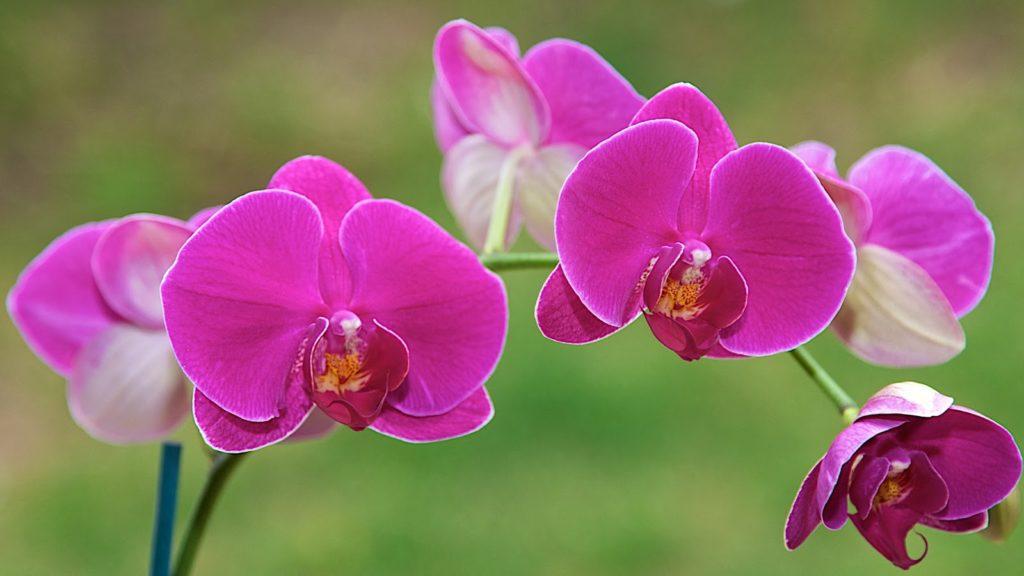 Nguồn gốc hoa Lan Hồ Điệp