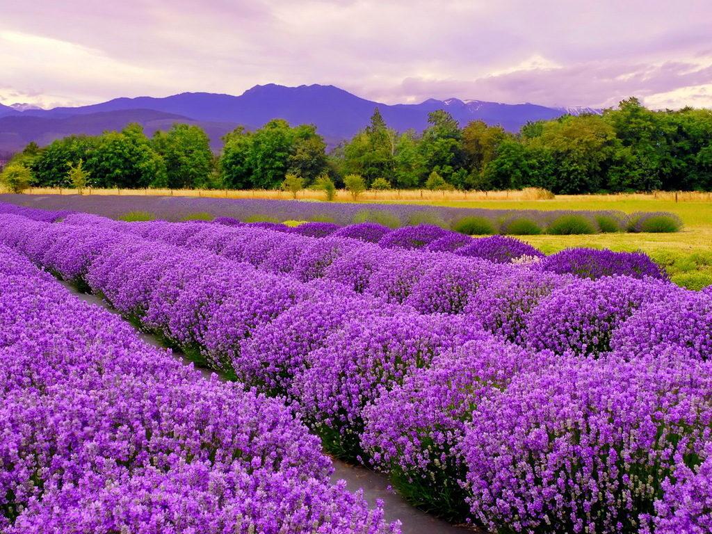 hoa-lavender-6