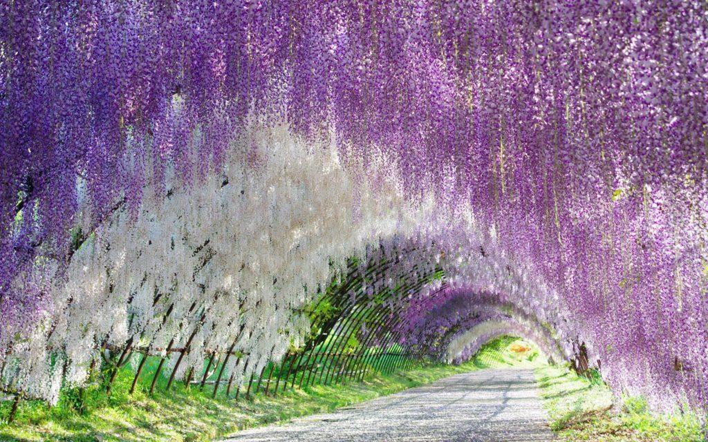 Đường hầm hoa Tử Đằng