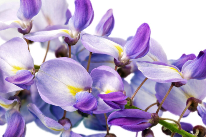 Đặc điểm hoa Tử Đằng
