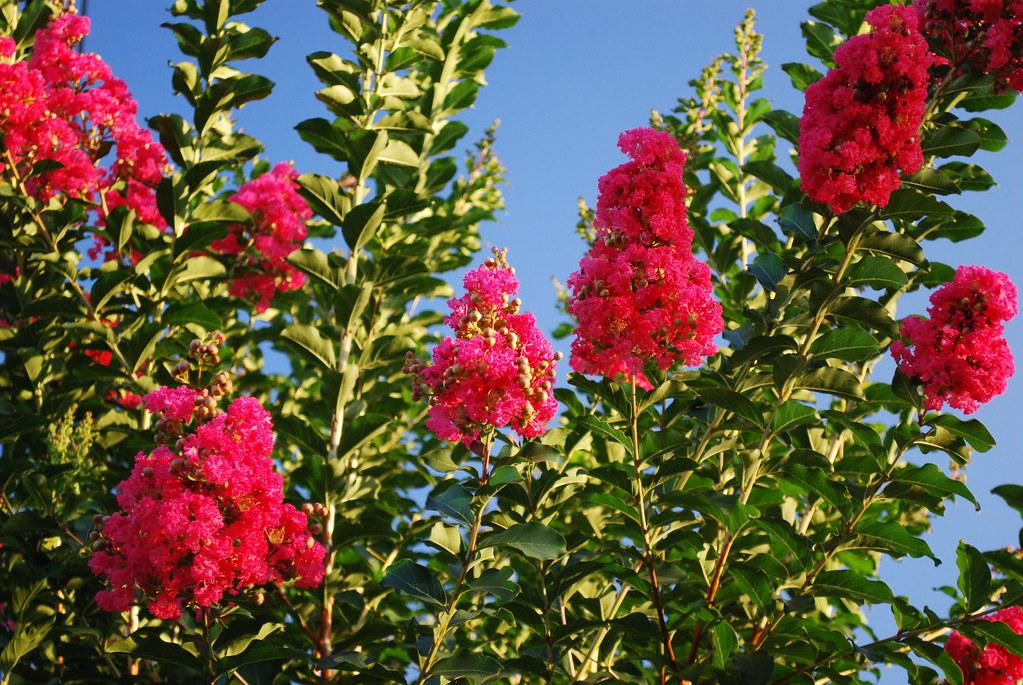 ý nghĩa hoa tường vi đỏ