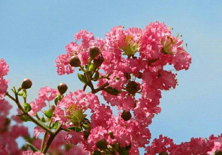 Ý nghĩa tường vi hồng