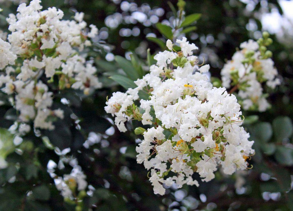 Ý nghĩa hoa tường vi trắng